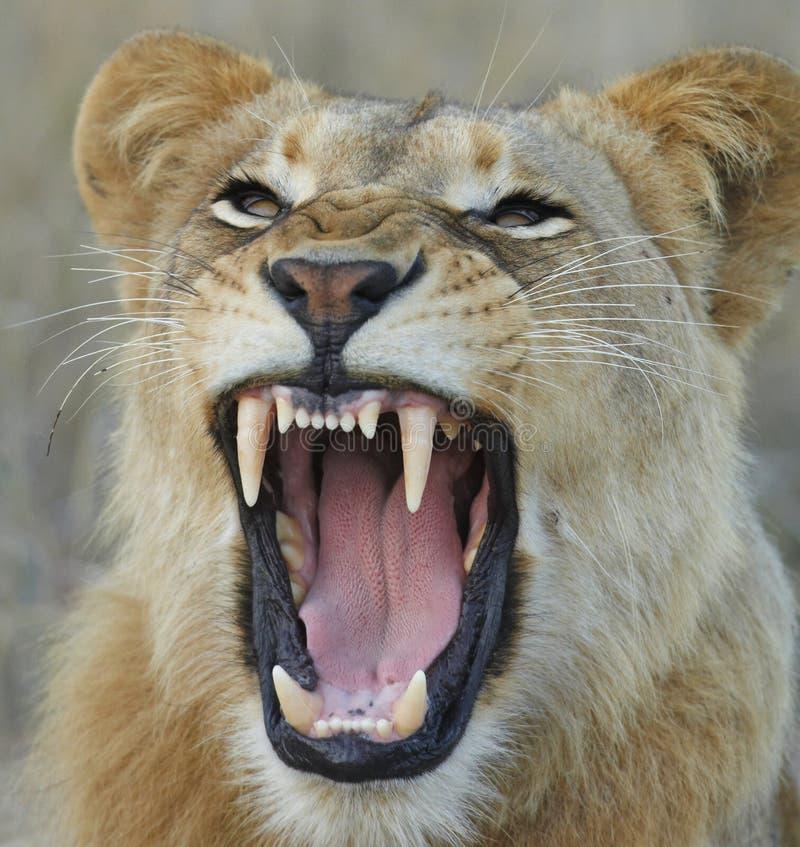 львица показывая зубы стоковое фото rf