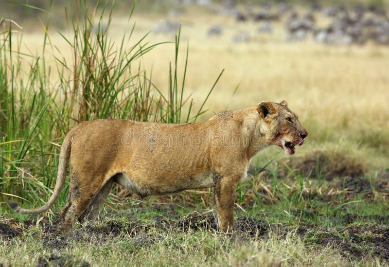 Львица после убийства еды стоковое фото rf