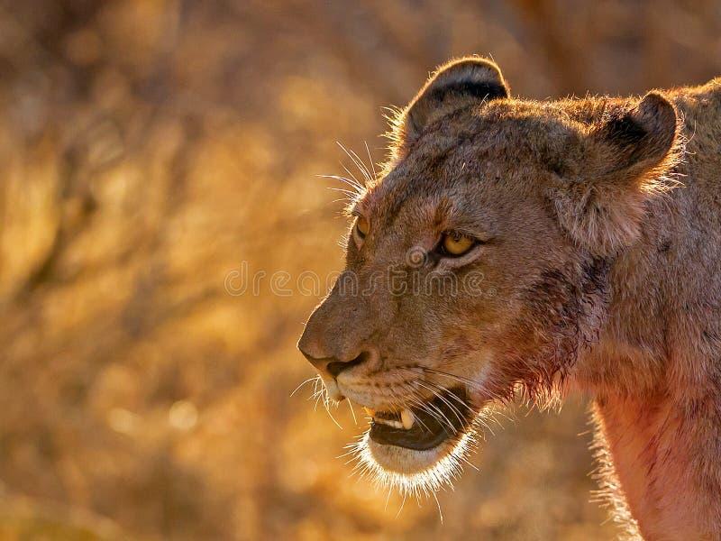 Львица после убийства стоковое изображение