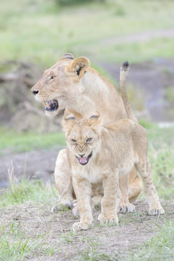 Львица при ее новички играя на саванне, Maasai Mara, Кении стоковое фото