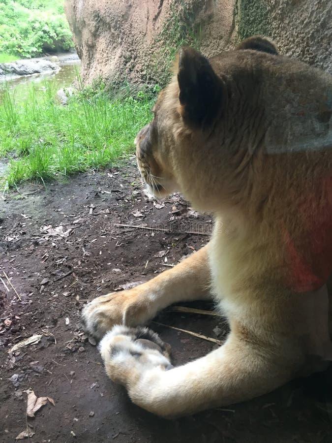 Львица протягиванная вне вдоль стены исследуя ее домена стоковые фотографии rf