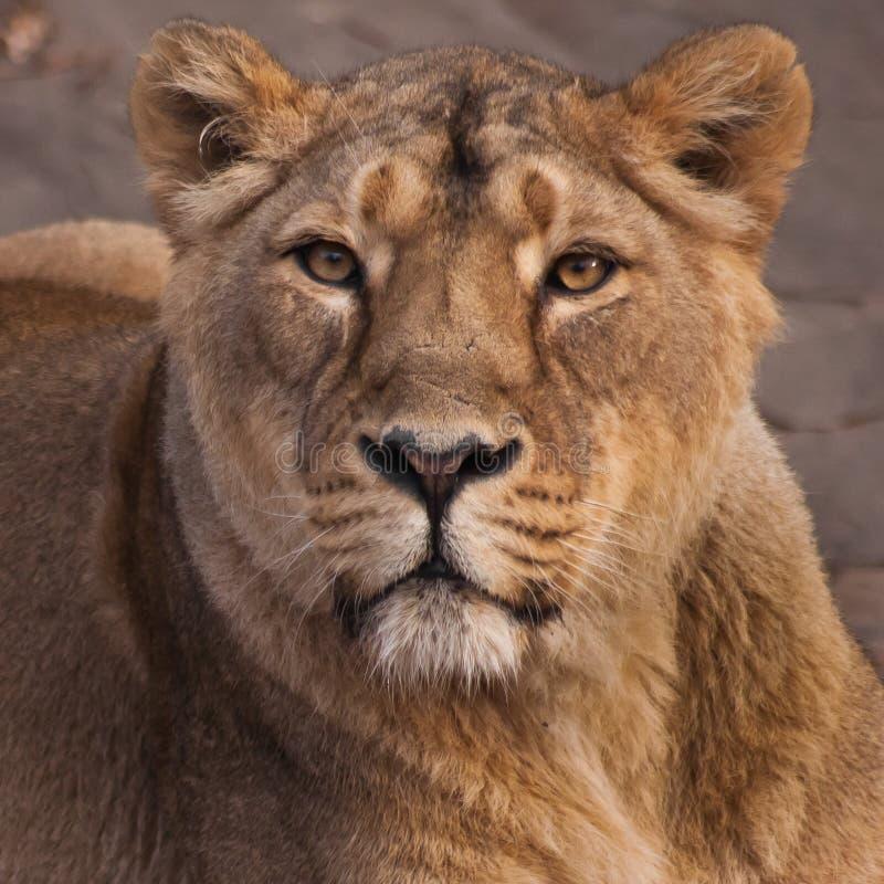 Львица сильное и красивое животное, демонстрирует эмоции стоковые фотографии rf