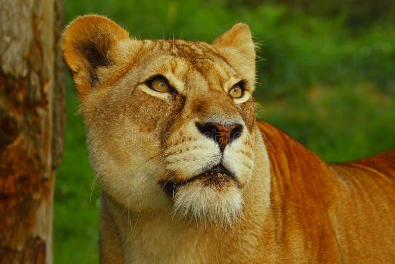 львица смотря prey стоковые изображения rf