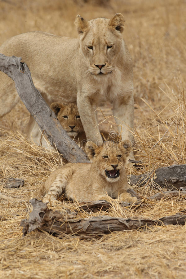 Львица с новичками в национальном парке Kruger стоковое фото