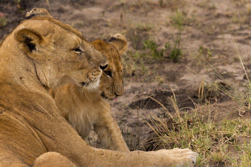 Львица с новичком стоковое изображение rf