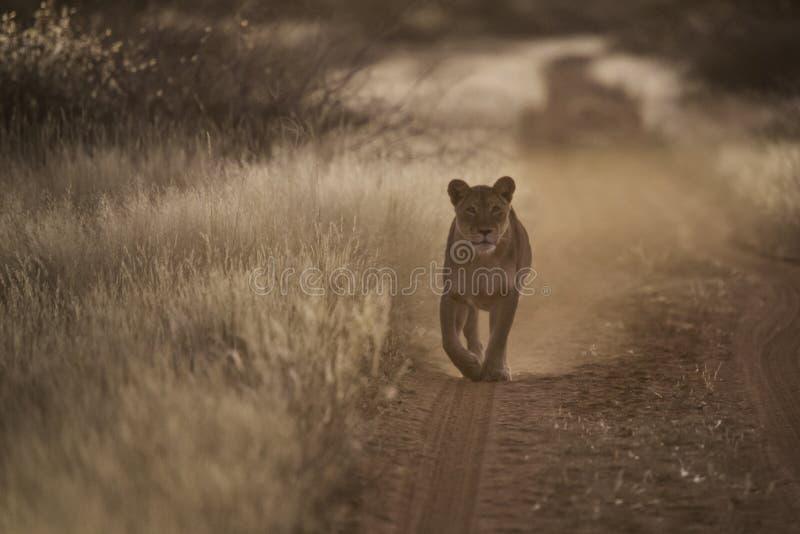 Львица стоковое фото rf