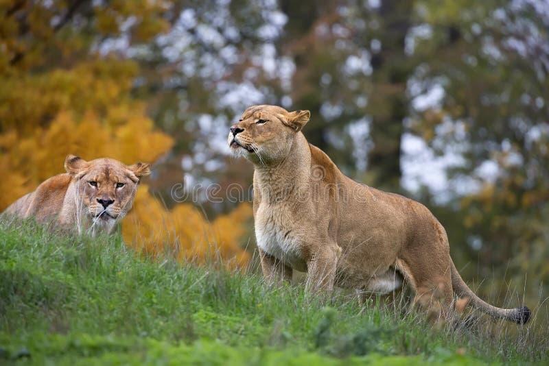 Львицы в диком стоковое изображение