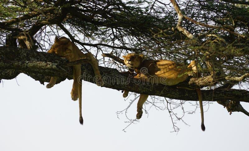 Львы в Serengeti, Танзании стоковые фотографии rf