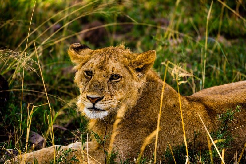 Львы в Serengeti стоковое изображение rf