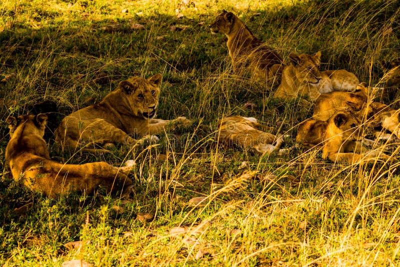 Львы в Serengeti стоковое изображение