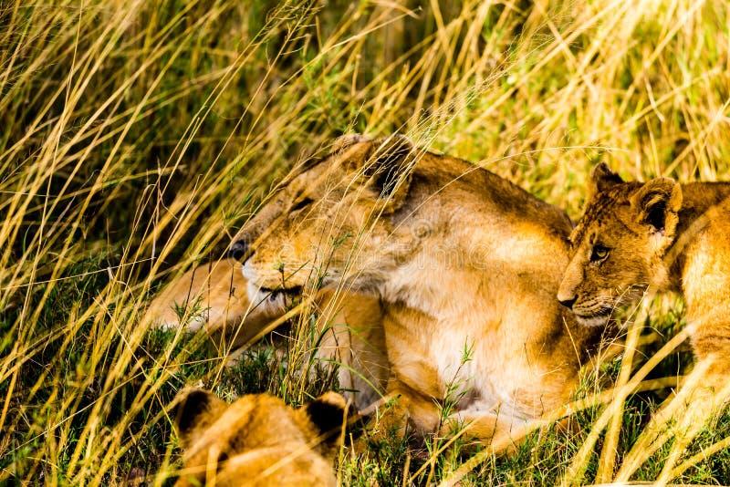 Львы в Serengeti стоковое фото rf
