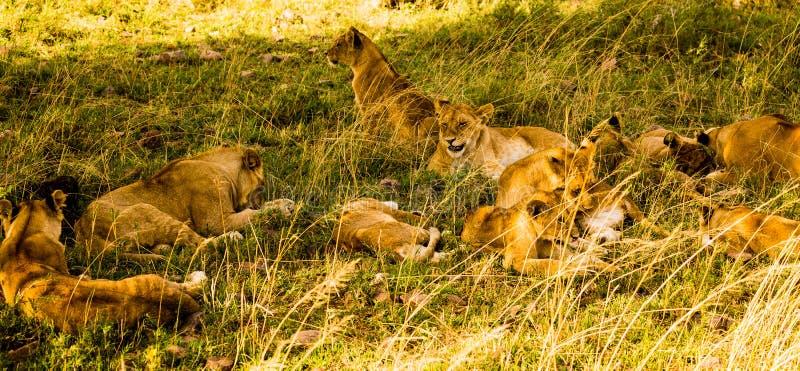 Львы в Serengeti стоковые изображения