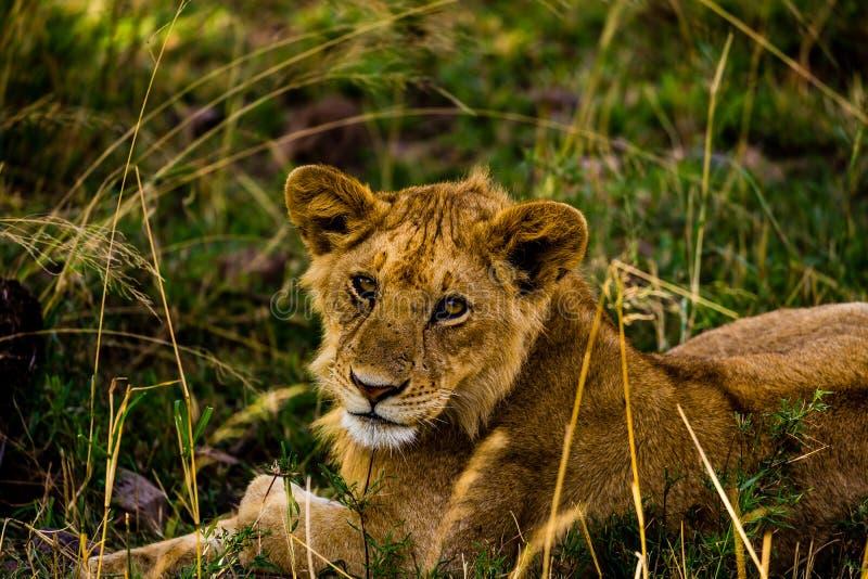 Львы в Serengeti стоковое фото