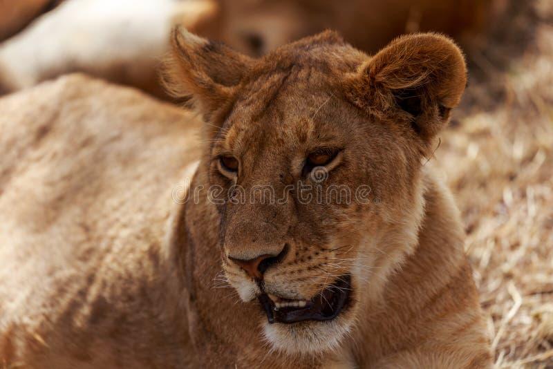 Львы в Serengeti стоковые фотографии rf