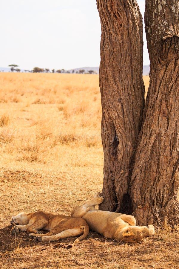 Львы в Serengeti стоковые изображения rf