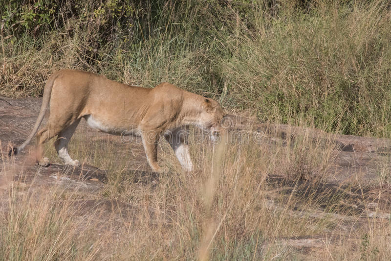 Львы гордятся и Cubs в Кении стоковая фотография rf
