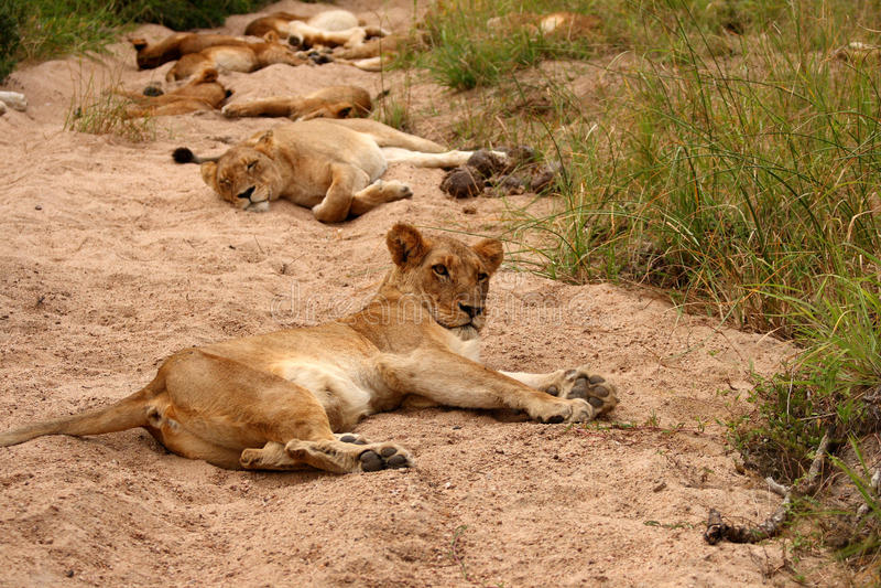 львы игры резервируют песок sabi стоковое изображение rf
