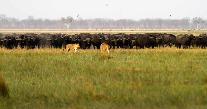 Львы охотясь буйвол стоковая фотография