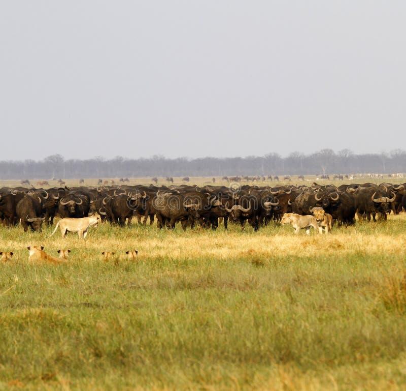 Львы охотясь буйвол стоковые изображения rf