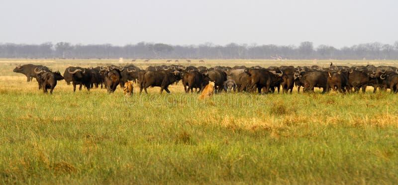 Львы охотясь буйвол стоковые фотографии rf