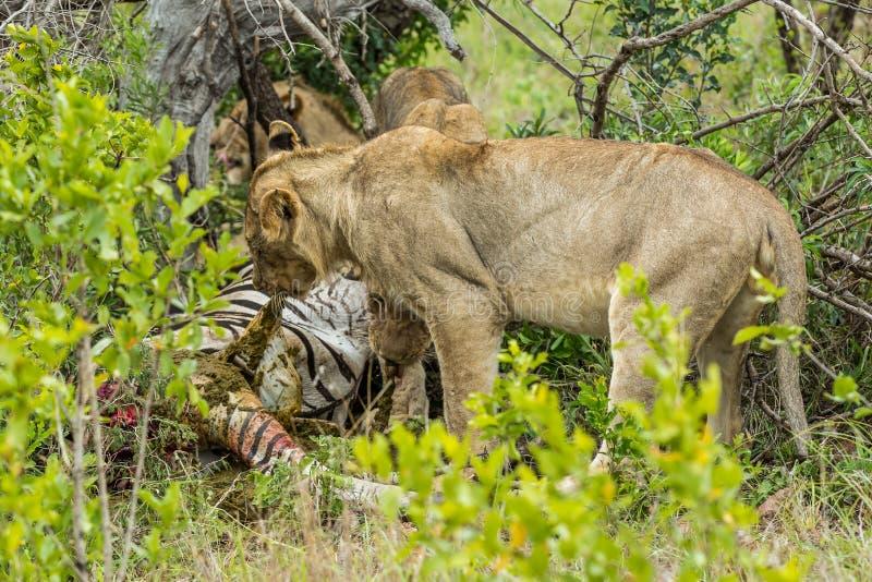 Львы подавая на убийстве в Южной Африке стоковые фотографии rf