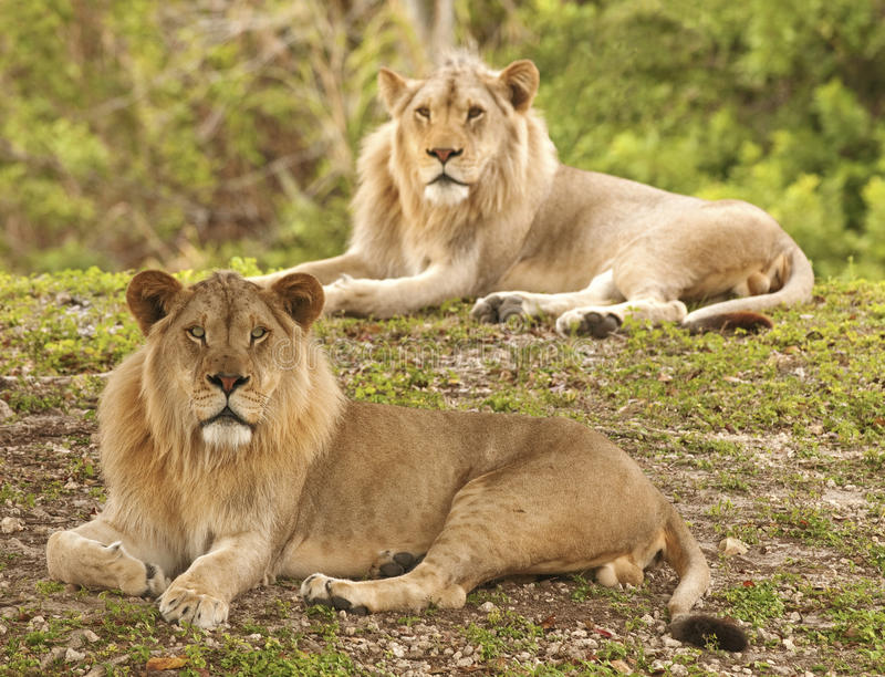 львы фокуса селективные стоковая фотография