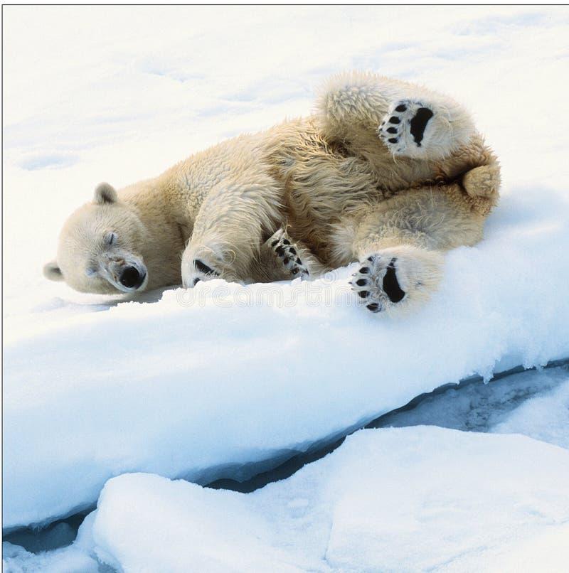 льдед медведя стоковая фотография