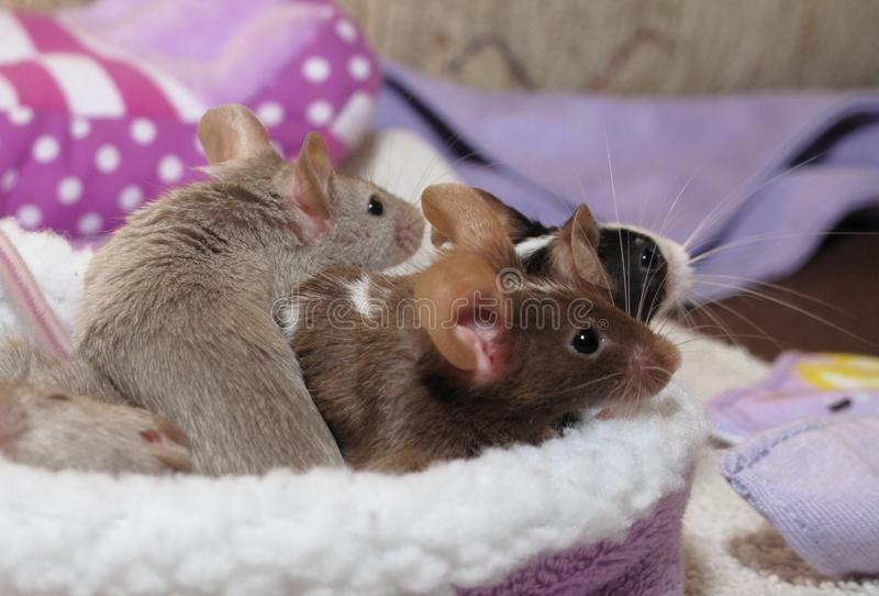 Любимчики - мыши стоковое изображение rf