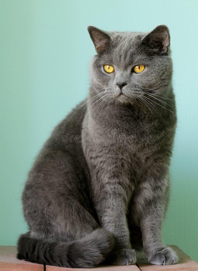 Любимчик - великобританский кот серого цвета shorthair стоковые фотографии rf