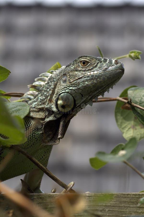 любимчик игуаны стоковая фотография rf