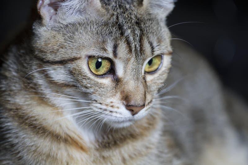 Download Любимчик, прелестный общий Tabby волос кота Стоковое Фото - изображение насчитывающей лежать, смотреть: 40578628