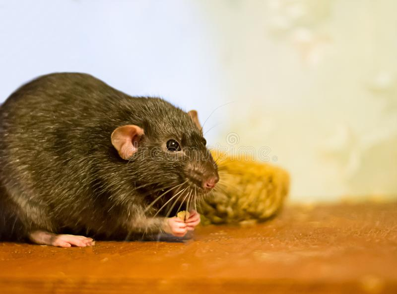 Любимчик черной крысы отечественный ест взгляды близко на деревянной коричневой таблице стоковое изображение