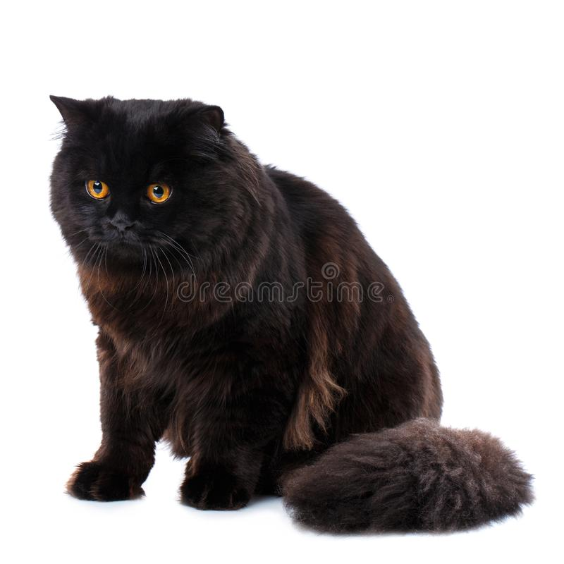любимчик Чистоплеменный великобританский черный кот с желтыми глазами стоковые изображения