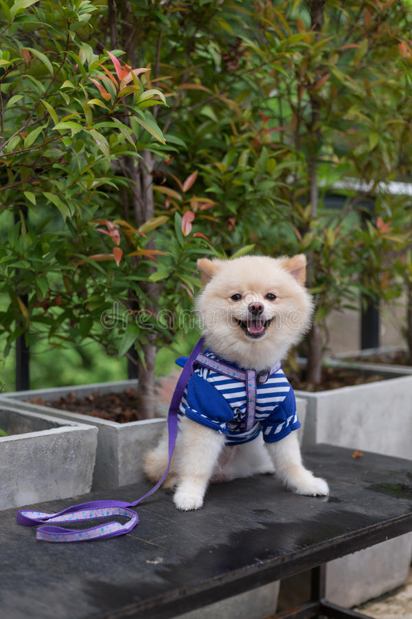Любимчик щенка собаки Pomeranian милый стоковая фотография rf