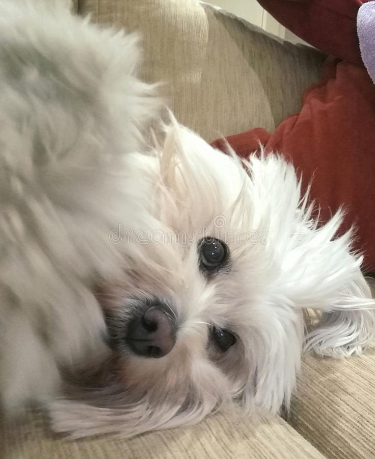Любить любимчика собаки расслабленный милый стоковое фото rf