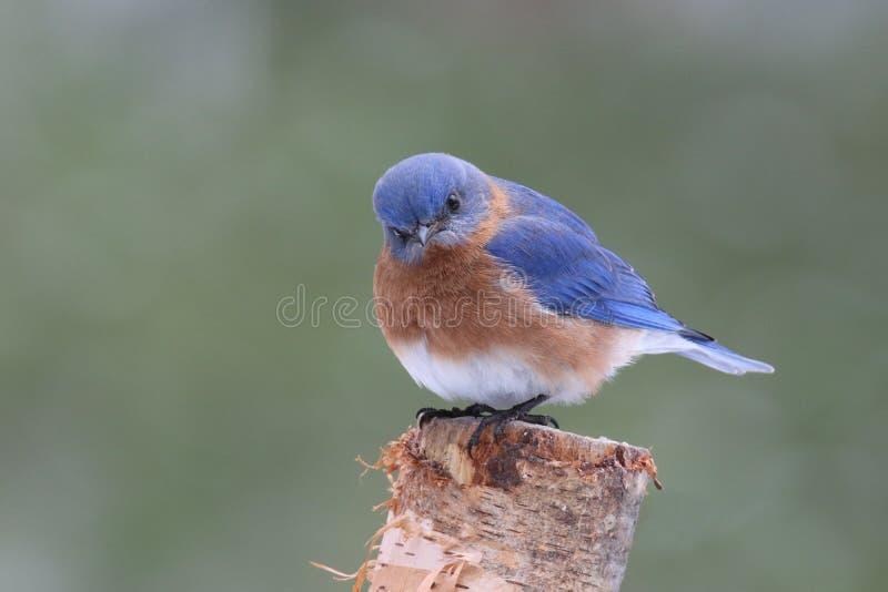 Любознательная восточная синяя птица стоковое изображение rf