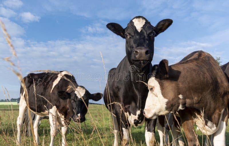 Любознательная голова повышения коровы стоковое изображение rf