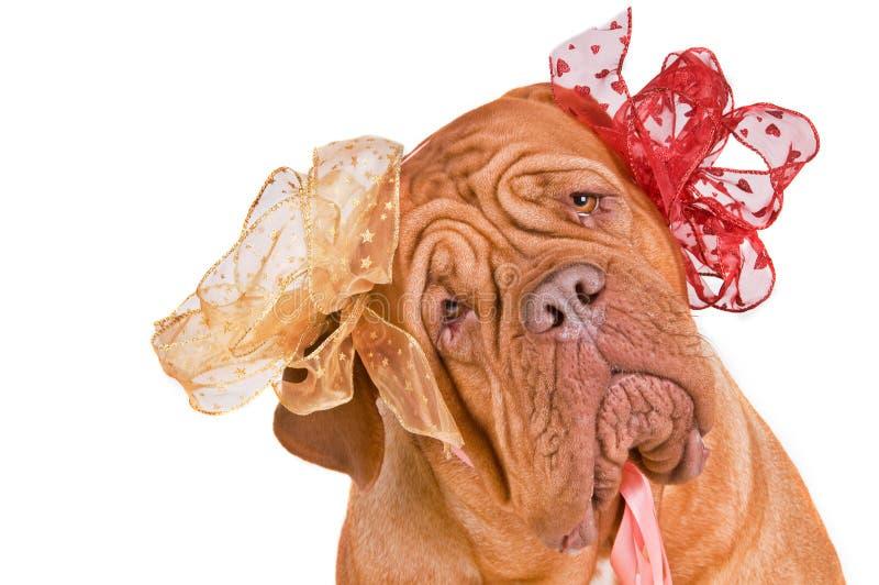 любознательная собака girly стоковые изображения rf