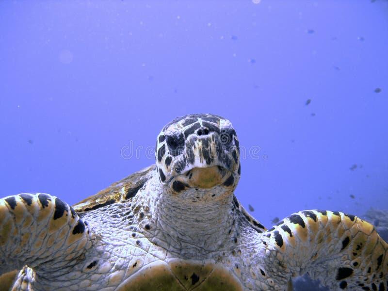 любознательная угрожаемая черепаха моря hawksbill стоковые фото