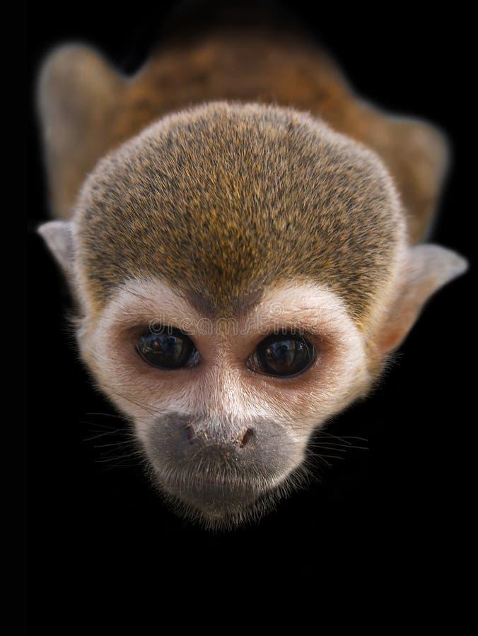 любознательний stare обезьяны стоковые изображения rf