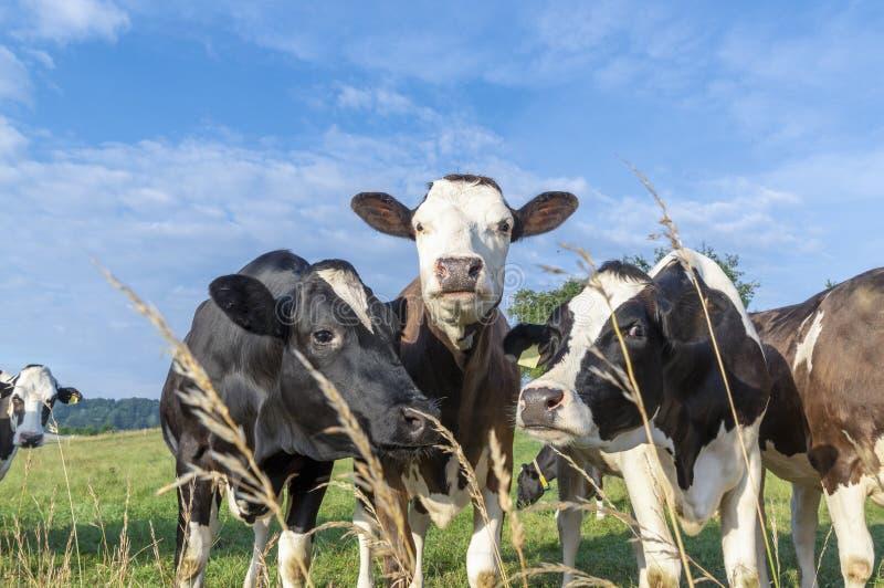 Любознательные коровы протягивая голову к камере стоковое изображение