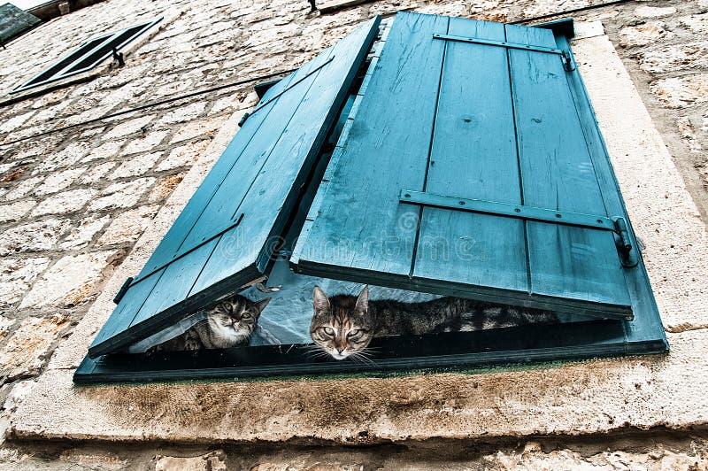 Любознательные наблюдатели - 2 кота peeking через шторки окна бирюзы стоковые фото