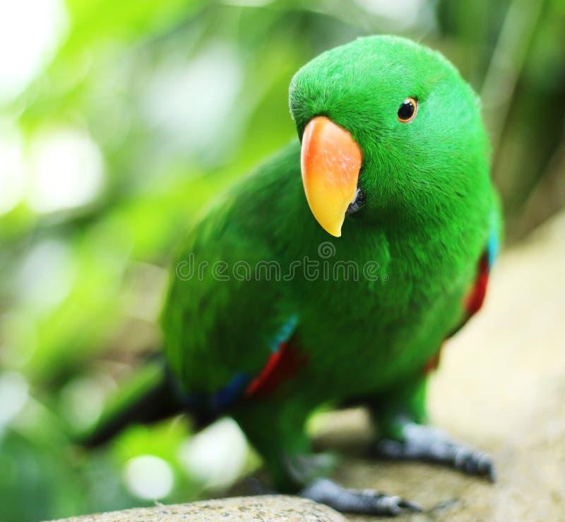 Любознательный зеленый попугай стоковое фото rf