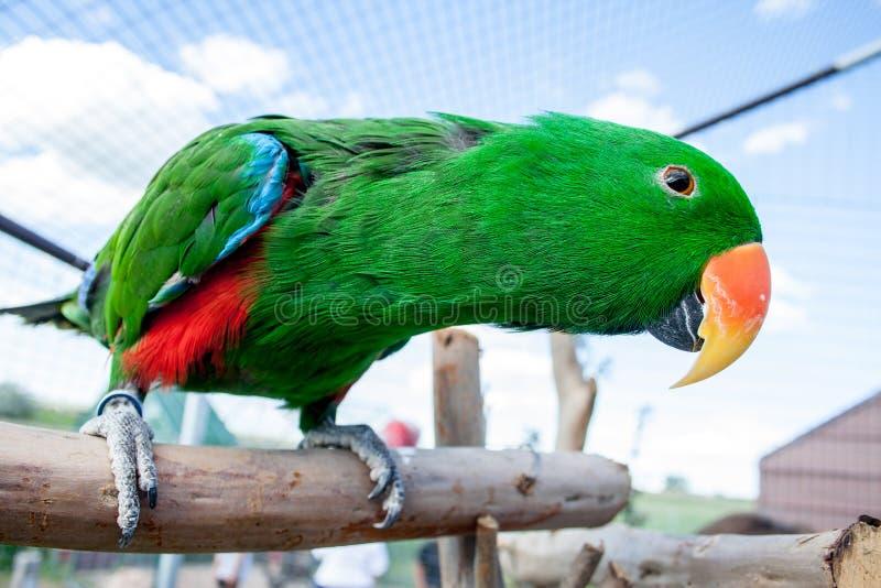 Любознательный зеленый юг - американская птица с оранжевым клювом стоковая фотография rf