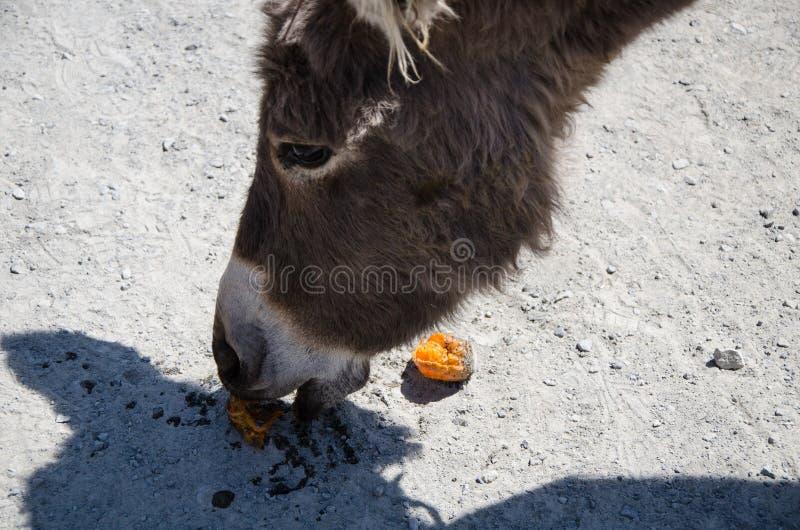 Любознательный осел есть tangerine Фото портрета конца-вверх стоковые фото