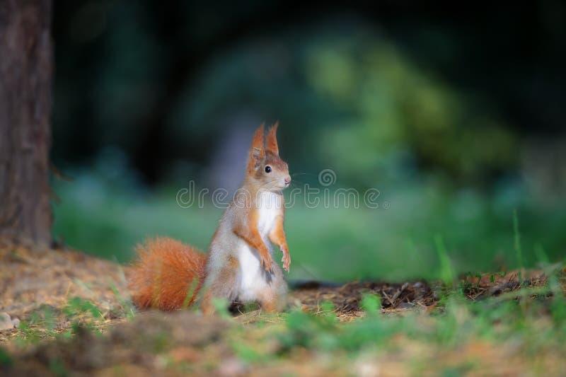 Любознательная милая красная белка стоя в земле леса осени стоковые фото