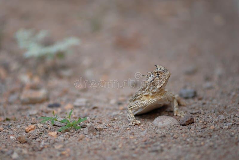 Любознательная, роговая ящерица стоковое изображение rf