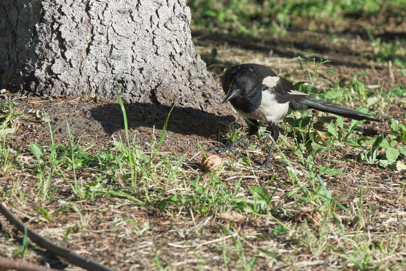 Любознательная сорока с добычей около дерева укореняет стоковое фото rf