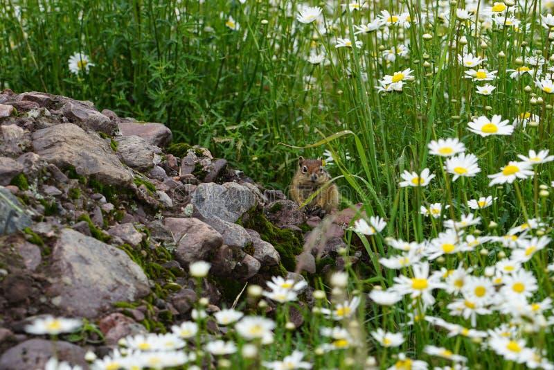 Любознательный и милый Сибирский бурундук стоковое фото