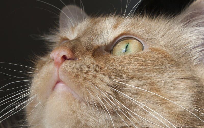 Любознательный кот с интенсивно сфокусированным вниманием стоковые фотографии rf